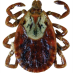 American Dog Tick Female