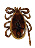 Blacklegged Tick Male
