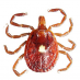 Lone Star Tick - Female