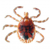 Lone Star Tick Male